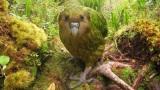 这鹦鹉见到人类会一动不动,常爬到树上,有时候还会摔死