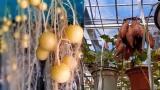 """悬挂在空中的""""土豆""""走红网络,网友:它已经不是土豆了,是空气豆"""